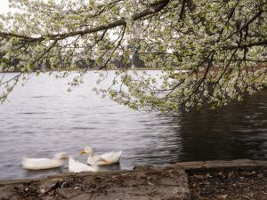 spring on the lake with dogwood tree and ducks