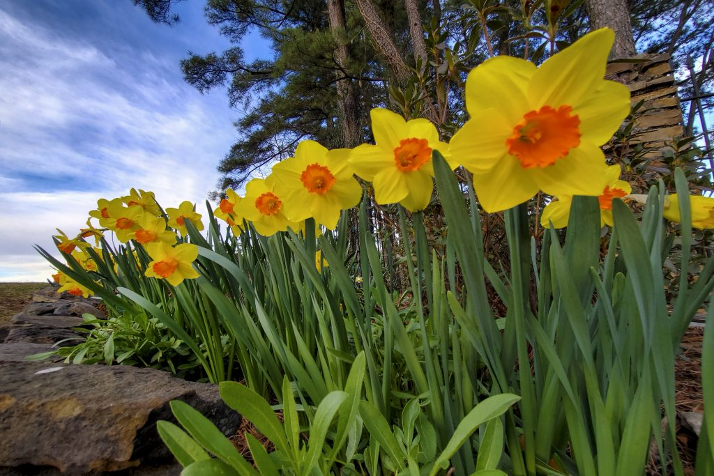 spring at the old mill - daffodills